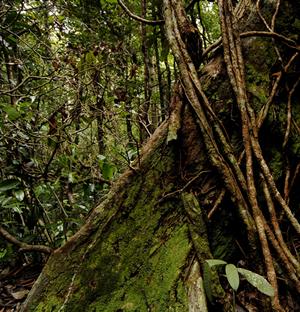 bako-sarawak-jungle
